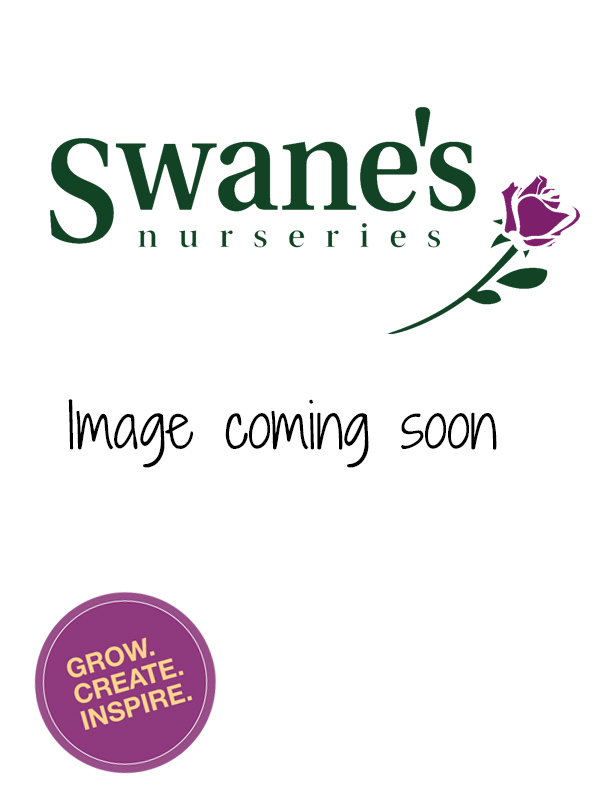 Catherine McAuley Winter Rose